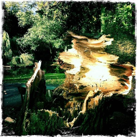 Omgevallen-Wilhelminaboom